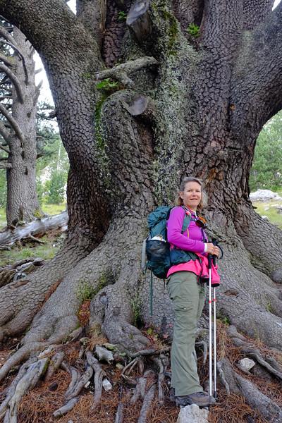 The Oldest Tree on Mt. Olympus