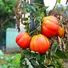Tomato of Liguria