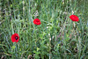 <font size=+2>Tuscan Poppies</font>  Tuscany, Italy <font size=-1>(5-04760)</font>