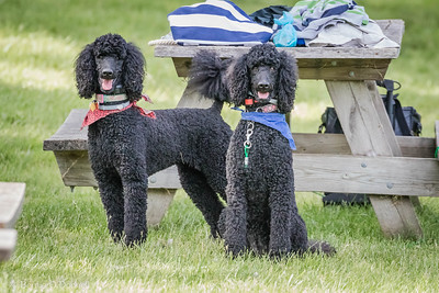 Eva & Sasha Standard Poodles