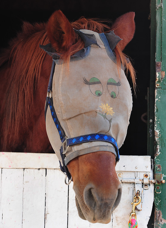 . VALLEJO, CA- OCT. 10, A horse has eyes drawn on its fly netting at the large animal evacuation center at the Solano County Fairgrounds on Tuesday.    (Chris Riley/Vallejo Times-Herald)