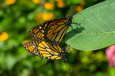 DSC_9186 AR Mating monarchs sat crpd 2x3 tNEF ps-