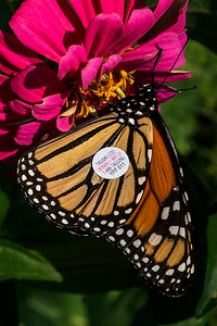 DSC_9242 AR Tagged Monarch crpd tNEF ps-