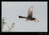 Phainopepla - Female - In flight