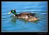 Swedish Black Crested Duck