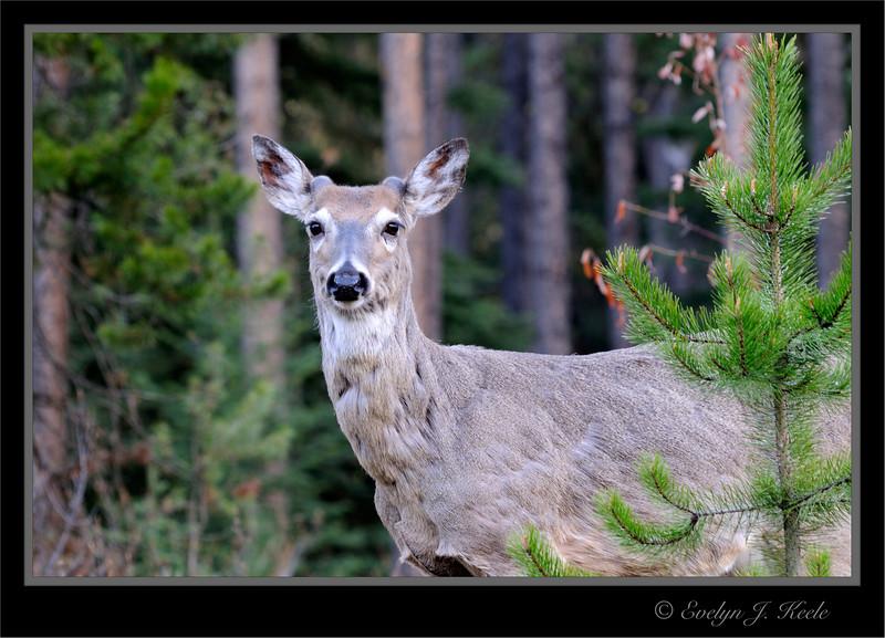 Mule Deer - Young Buck