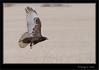 Rough Legged Hawk - Dark Morph