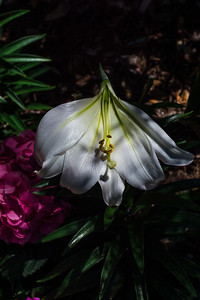 A deformed lily