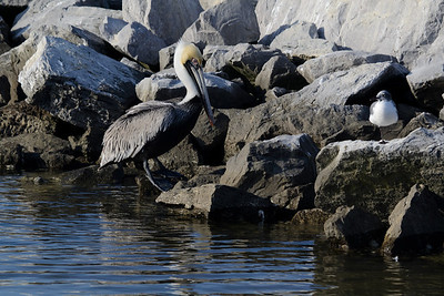 Just missed this pelican jumping up on the rocks. Too bad, it would've made a great pic.