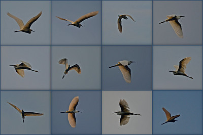 So I have these beautiful photos of an egret in flight I took with a 55-300mm Nikkor telephoto lens. They are obviously not of a size that will display well individually, so what to do…? How 'bout a collage that illustrates the aerobatic grace of these magnificent creatures. I think it works. Do you?
