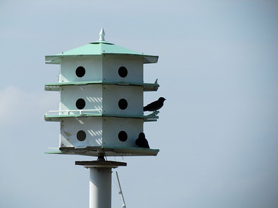 The purple martins are back.