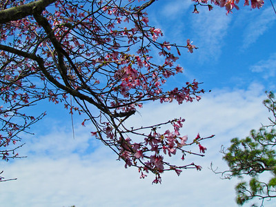 I just like the pink blossoms against the beautiful blue sky