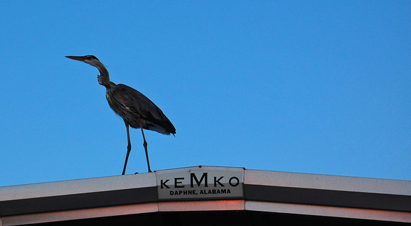 Crane on the roof over part of the pier. They are incredibly graceful in the air.