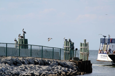 Pelicans on pilings and arriving ferry.