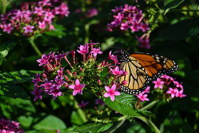 Beautiful butterflies in the gardens. I need to plant some of these flowers at home.