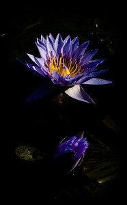 Water lily tweaked in Lightroom 4
