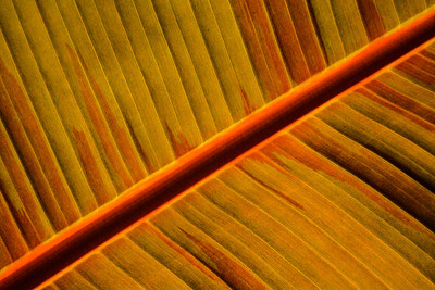 Back lit banana plant leaf