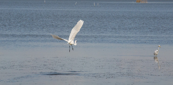 Egrets Mobile Bay