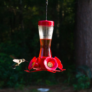 The hummers showed up within a couple hours after we put the feeders out. How do they know?