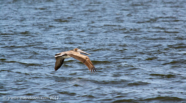 """Ah-ha! That's why they're """"brown"""" pelicans."""