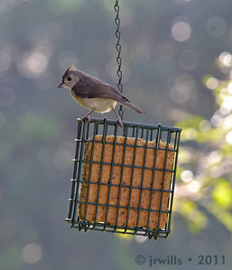 Titmouse vs. Chicadee