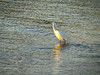 I think this is a snowy egret. It's fishing in some very shallow water.
