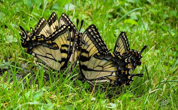Mabry Mill - Swallowtails (I think)