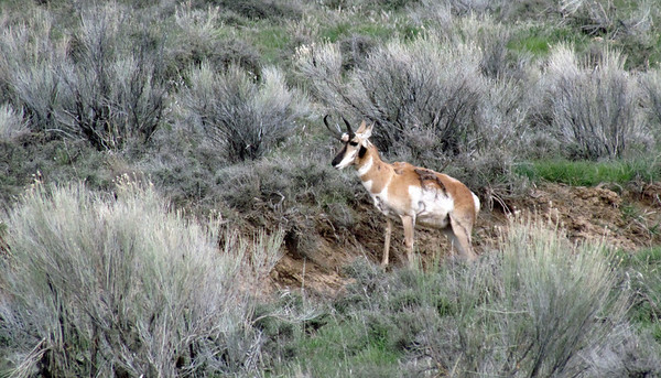 Saw lots of Pronghorns in the area. This pic and the next four were taken on the way back to the house in Panguitch.
