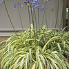 Agapanthus 'Gold Strike'