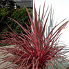 Cordyline 'Electric Pink'