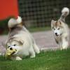 MalamutePuppies15