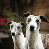 WHIPPETS04