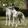 WHIPPETS06