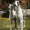 WHIPPETS05