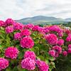 Hot Pink Hydrangea. Killarney, Ireland