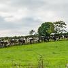 Taking the cows home. Killarney, Ireland.