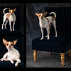 Little Dog collage 2a
