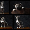 Grey Dog collage Ia