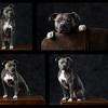 Grey Dog collage Ia