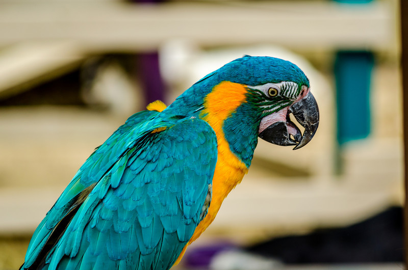 Blue Macaw Parrot in the Petting Zoo