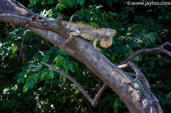 Green Iguanas, Male Mating Season Orange