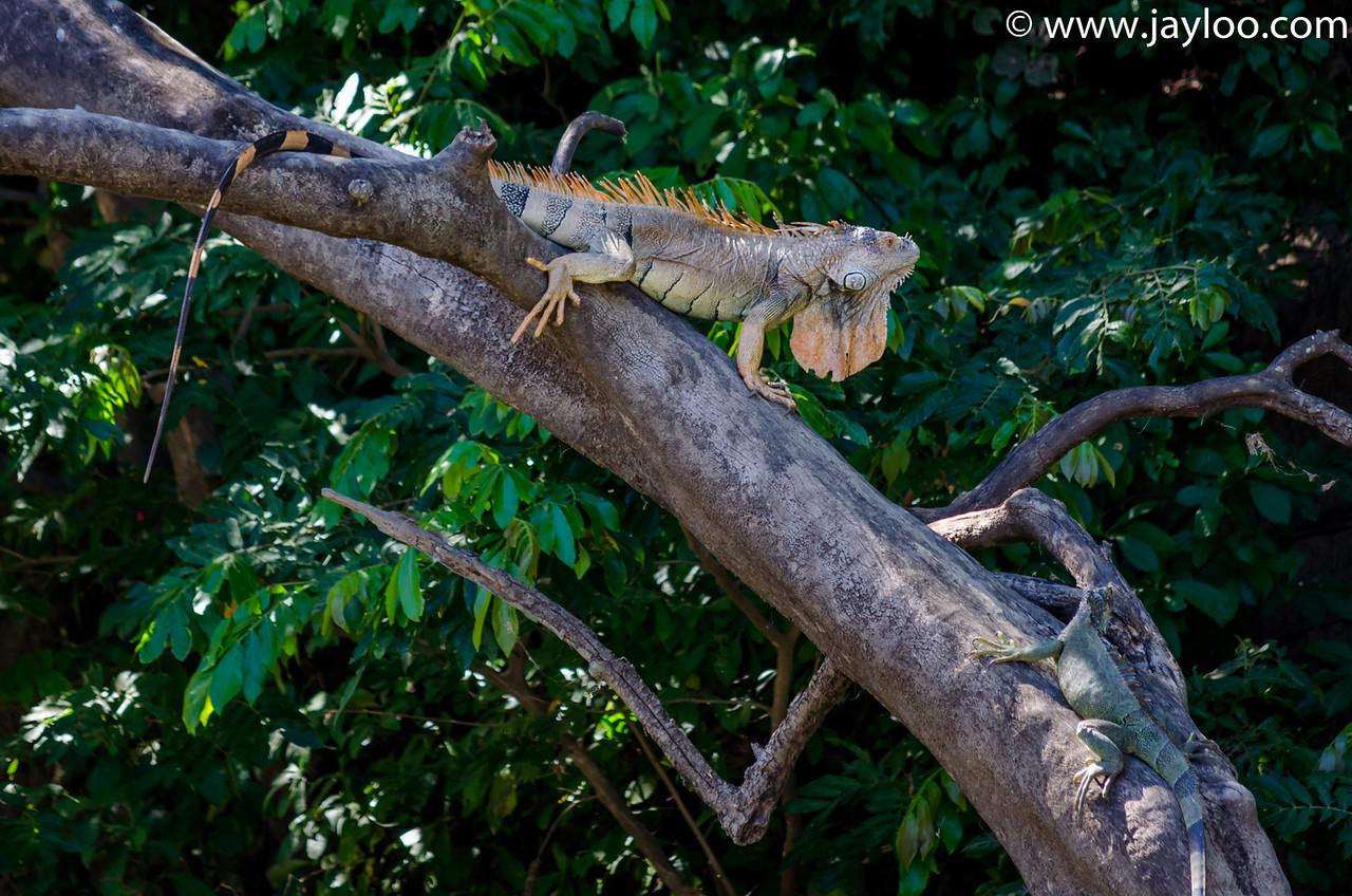 Green Iguanas, Male Mating Season Orange