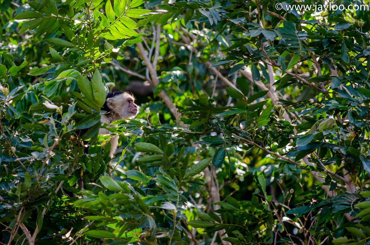 White-Faced or Capuchin Monkey on the River