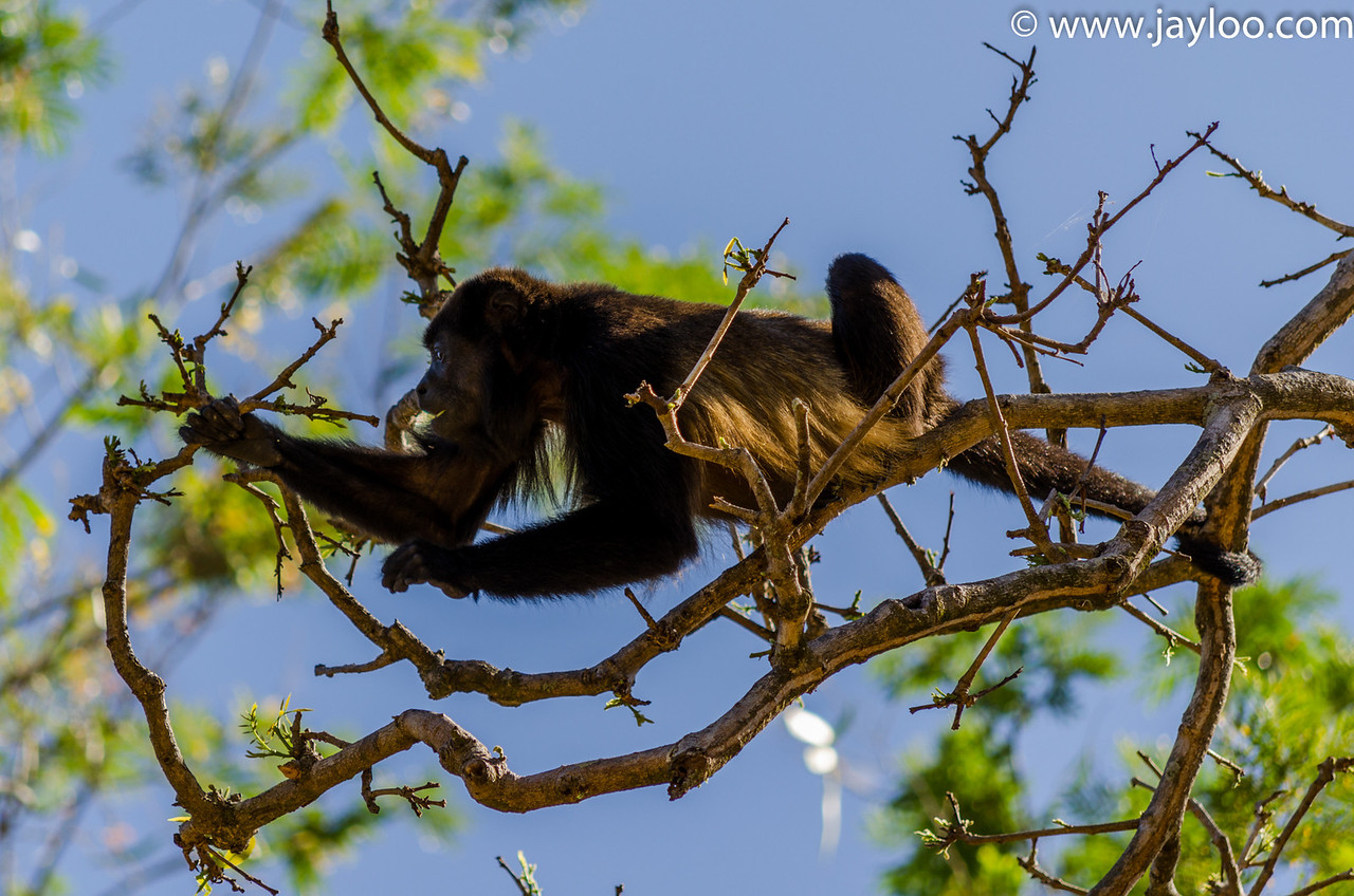 Howler Monkey Holding on with His tail