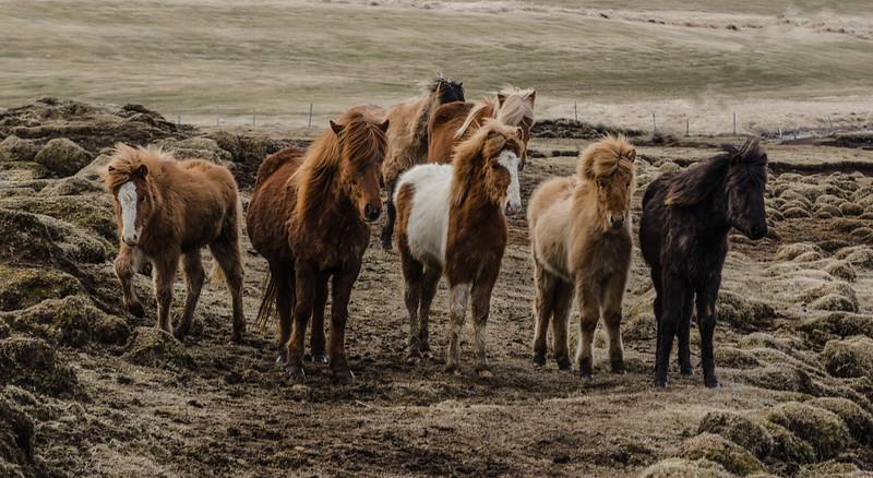Icelandic ponys