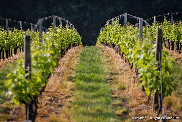 Perspective sur un vigne
