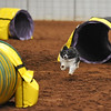 A dog runs the tunnelers course during the NADAC Agility Trial, Friday, April 15, 2016, at the Cleveland County Fairgrounds.  The trails continue today at 8 a.m. and is open and free to the public.  (Kyle Phillips / The Transcript)