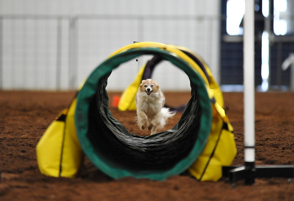Rowdy, a Papillon, runs through the tunnelers course during the NADAC Agility Trial, Friday, April 15, 2016, at the Cleveland County Fairgrounds.  The trails continue today at 8 a.m. and is open and free to the public.  (Kyle Phillips / The Transcript)