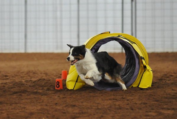 Prudence, an Austrialian Shepard, runs the course during the NADAC Agility Trial, Friday, April 15, 2016, at the Cleveland County Fairgrounds.  The trails continue today at 8 a.m. and is open and free to the public.  (Kyle Phillips / The Transcript)
