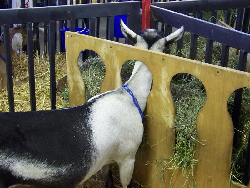 Baa-aa-aaa, goat!!<br /> [Puyallup, WA Fair 2009]